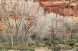 Cottonwoods, Red Wall, Utah B85S2229