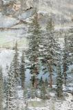 Early Snow, Conifers, Yosemite B85S7255